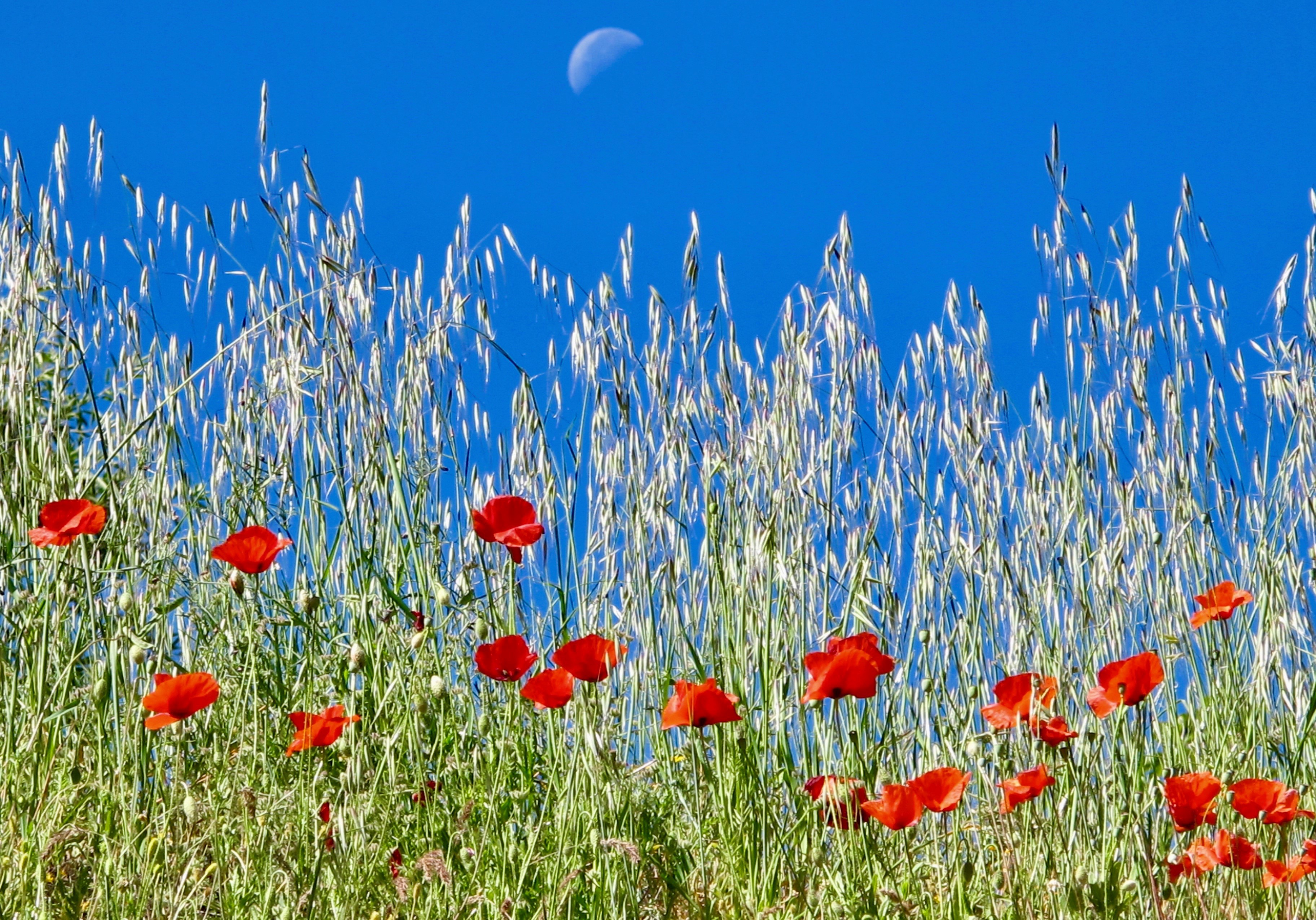 The Moon and Poppies, Andalusia